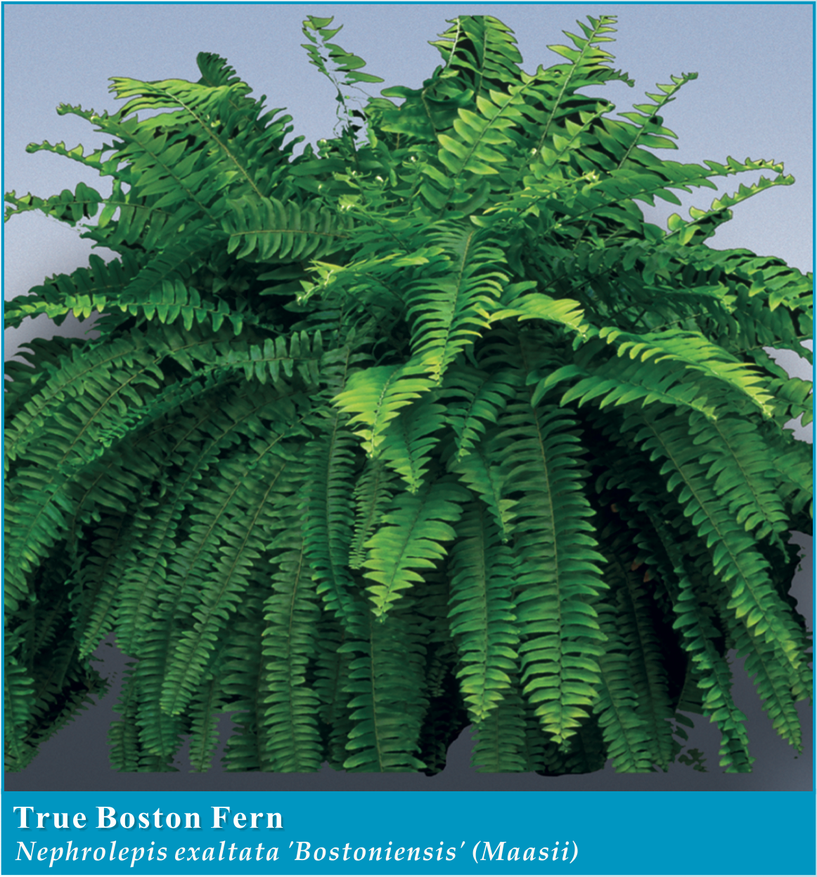 Ferns room: features of cultivation and care